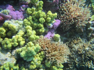 Corals reefs are major producers of carbonate sediments making up reef islands (photo: J  Webster)