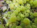 Macro-Algae
